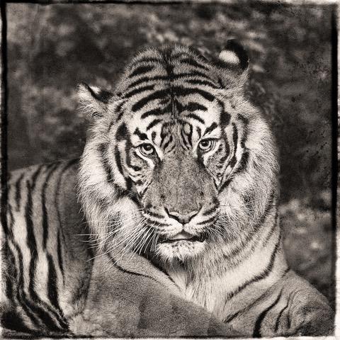 Jan Gulfoss Sumatra Tiger Photography